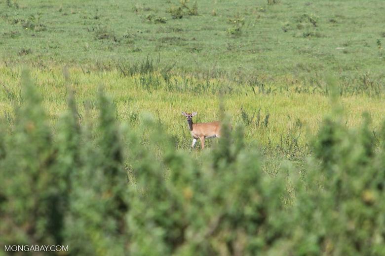 Deer [colombia_5822]