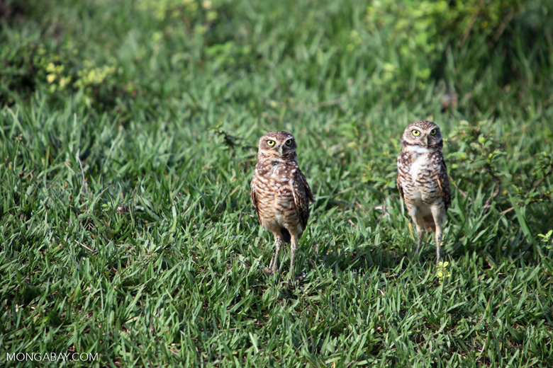 Burrowing Owl (Athene cunicularia) [colombia_5846]