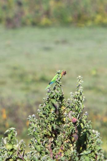 Brown-throated Parakeets (Aratinga pertinax) [colombia_5850]