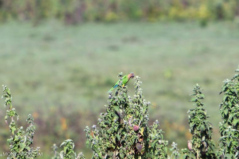 Brown-throated Parakeets (Aratinga pertinax) [colombia_5857]
