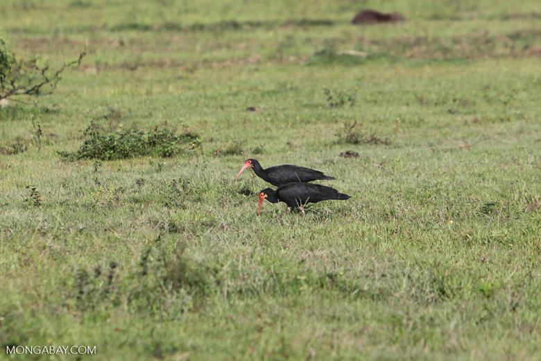 Sharp-tailed Ibis (Cercibis oxycerca) [colombia_5872]