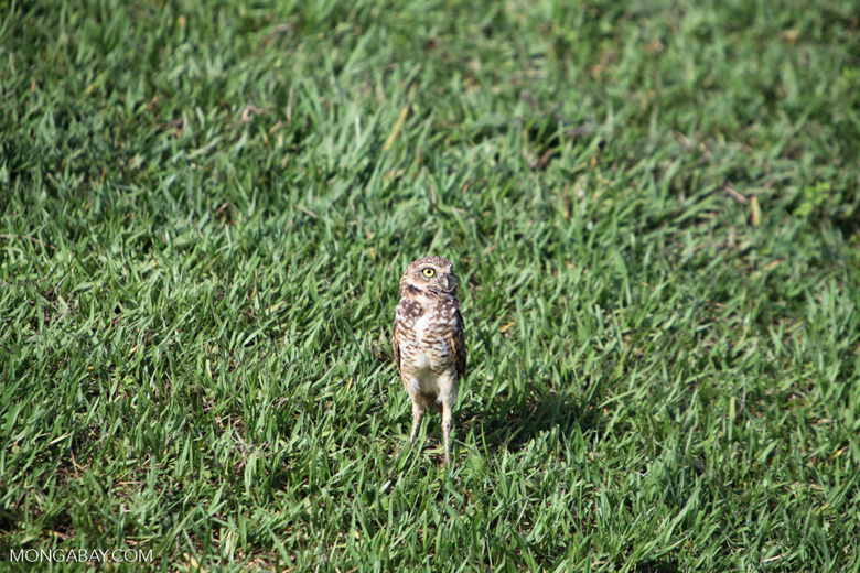 Burrowing Owl (Athene cunicularia) [colombia_5878]