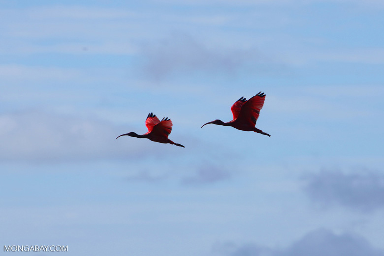 Scarlet Ibis (Eudocimus ruber) in flight [colombia_5896]