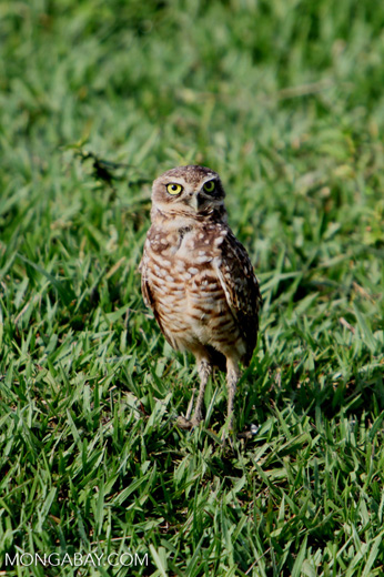 Burrowing Owl (Athene cunicularia) [colombia_5900]