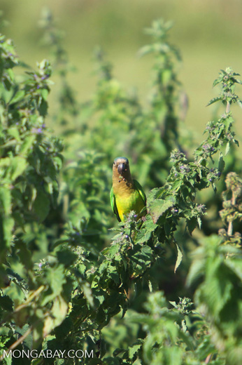 Brown-throated Parakeets (Aratinga pertinax) [colombia_5901]