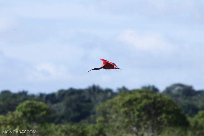 Scarlet ibis [colombia_5905]