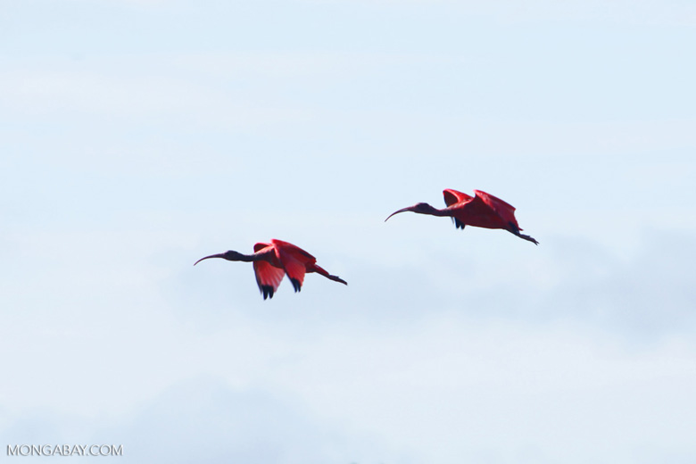 Scarlet ibis [colombia_5906]