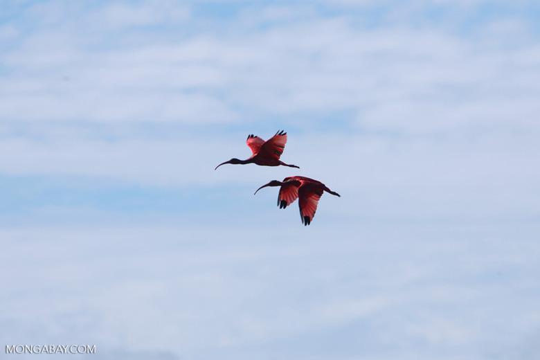 Scarlet Ibis (Eudocimus ruber) in flight [colombia_5911]
