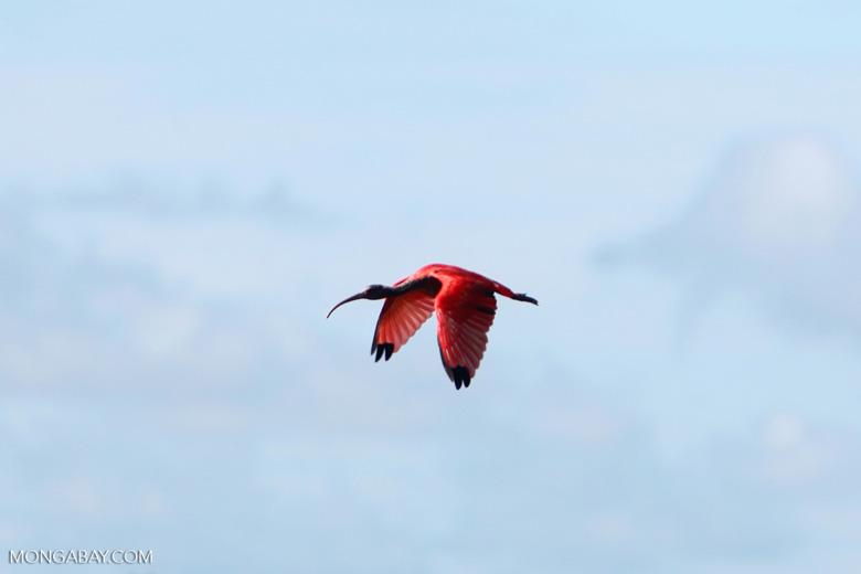 Scarlet Ibis (Eudocimus ruber) in flight
