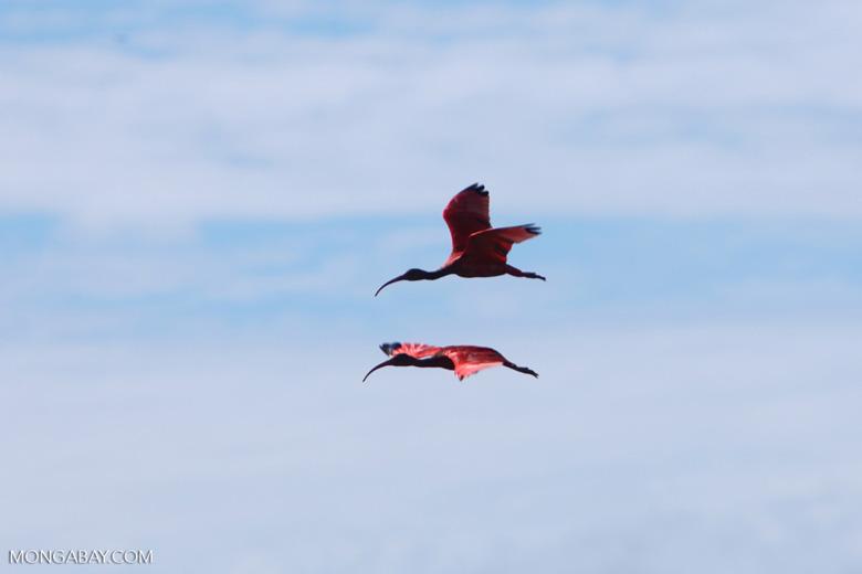 Scarlet Ibis (Eudocimus ruber) in flight [colombia_5916]