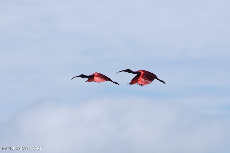 Scarlet Ibis (Eudocimus ruber) in flight [colombia_5922]