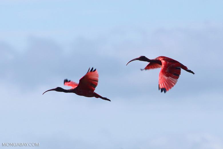 Scarlet Ibis (Eudocimus ruber) in flight [colombia_5927]