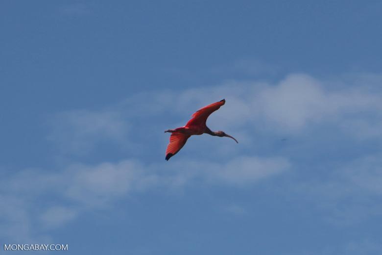 Scarlet Ibis (Eudocimus ruber) in flight [colombia_5928]
