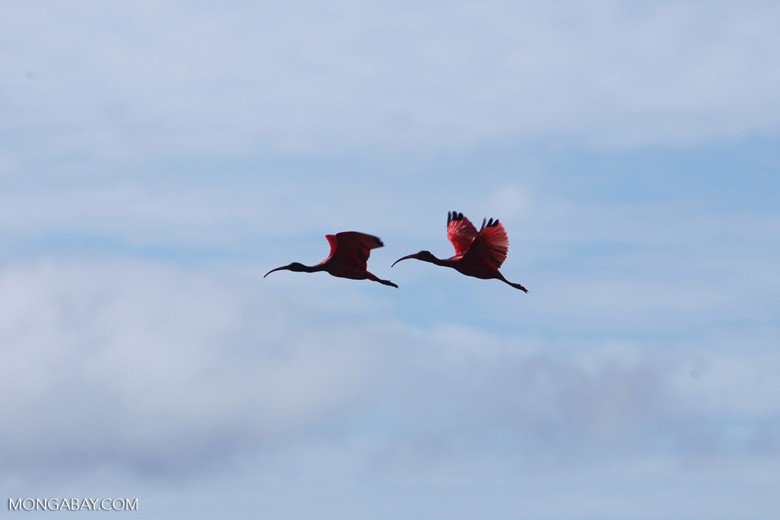 Scarlet Ibis (Eudocimus ruber) in flight [colombia_5929]