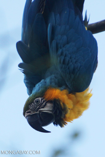 Blue-and-Gold macaw [colombia_5991]