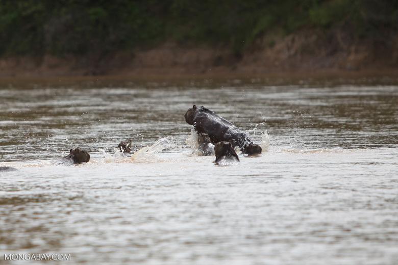 Fleeing capybara [colombia_6015]