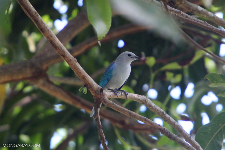 Blue-gray tanager (Thraupis episcopus)