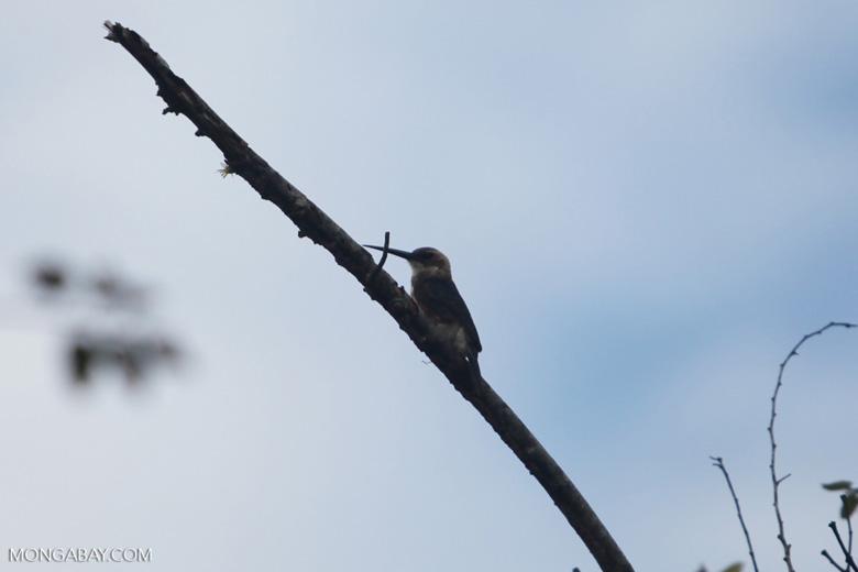 Bird [colombia_6093]