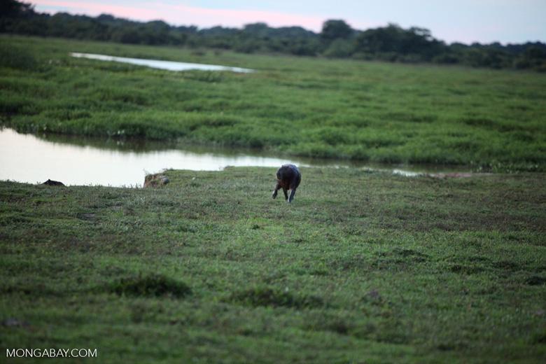 Capybara [colombia_6096]