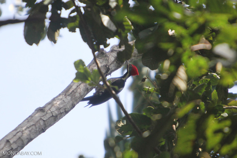 Lineated Woodpecker (Dryocopus lineatus) [colombia_6111]