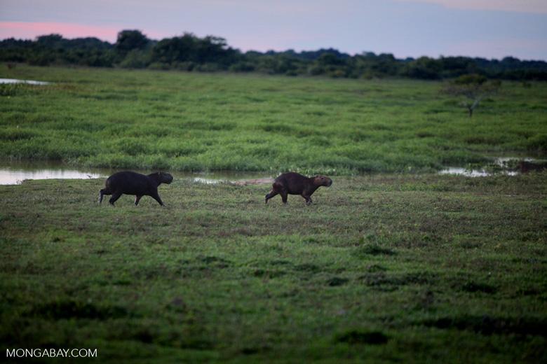 Capybaras [colombia_6122]