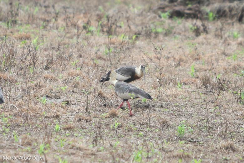 Buff-necked Ibis (Theristicus caudatus) [colombia_6123]