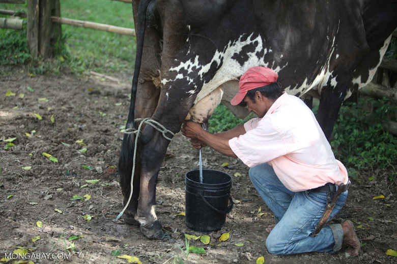 Rancher milking a cow