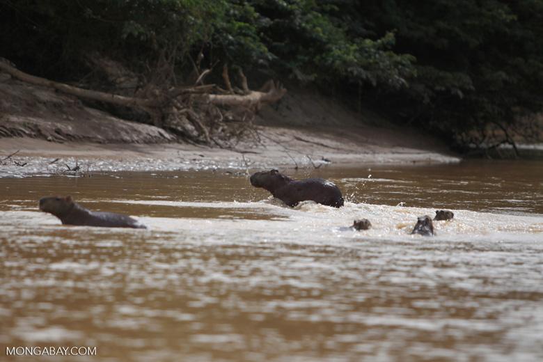 Capybaras [colombia_6157]