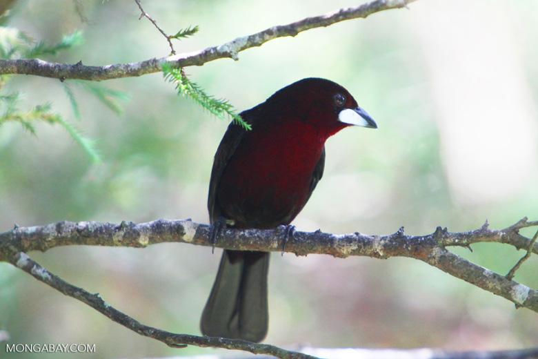 Crimson-backed Tanager (Ramphocelus dimidiatus) [colombia_6164]