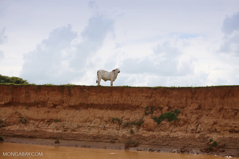 Cow on a river bank