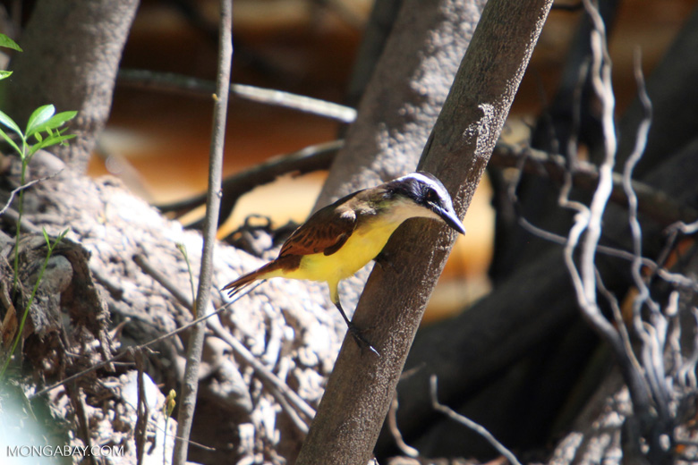 Bird [colombia_6233]