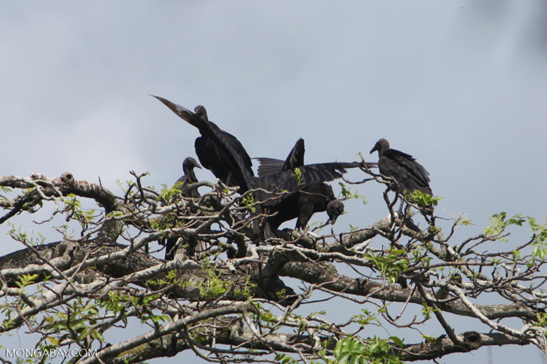 Black vultures atop a tree, jostling for position [colombia_6247]