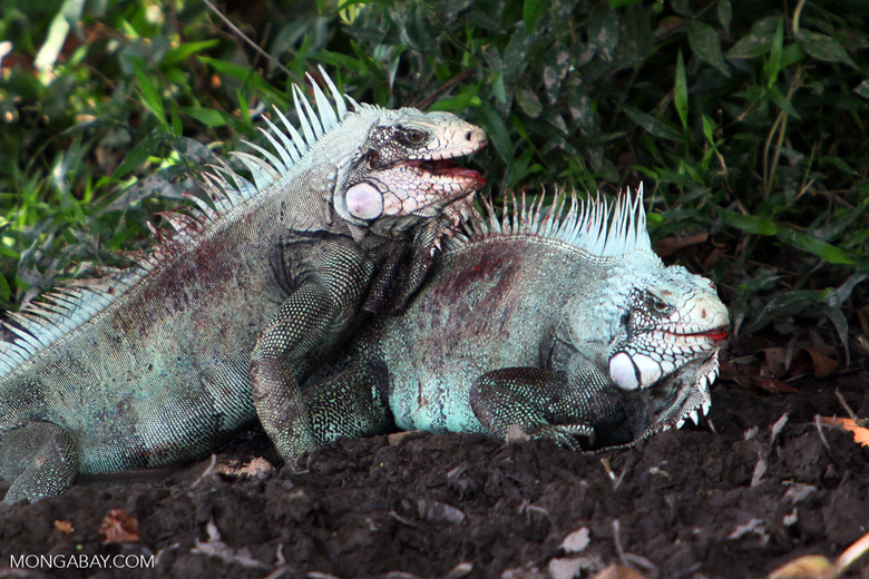 Male iguanas fighting [colombia_6317]