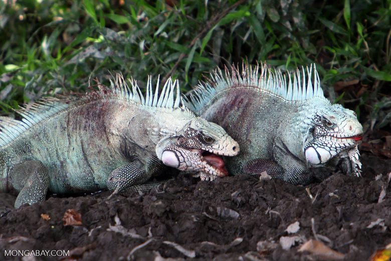 Male iguanas fighting [colombia_6326]
