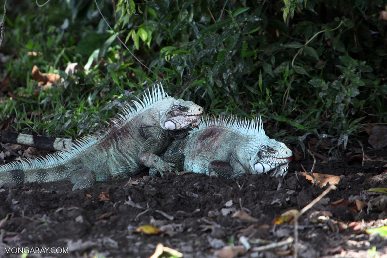 Male iguanas fighting [colombia_6338]