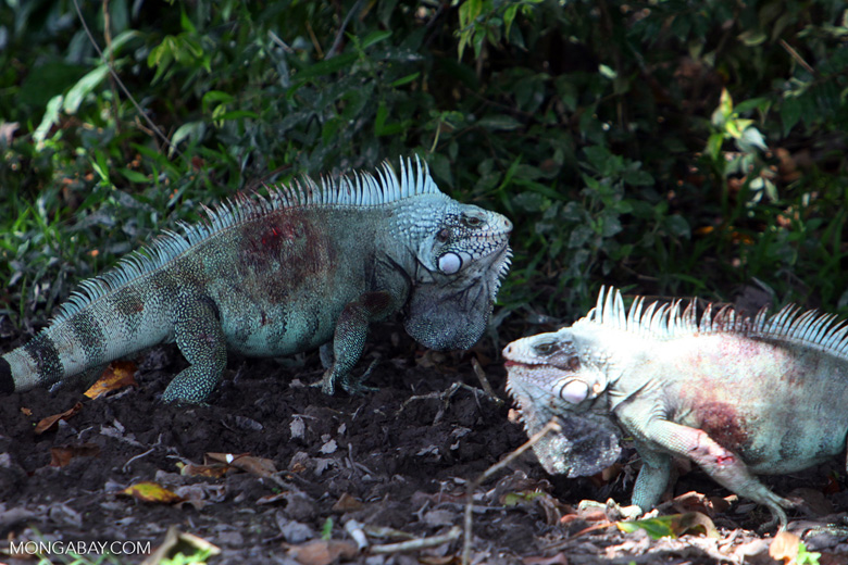 Male iguanas bloodied during a fight [colombia_6386]