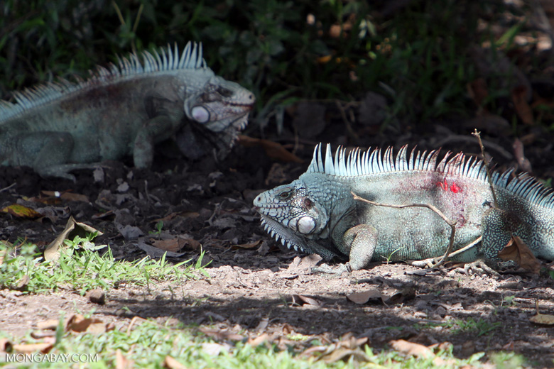Male iguanas bloodied during a fight [colombia_6398]