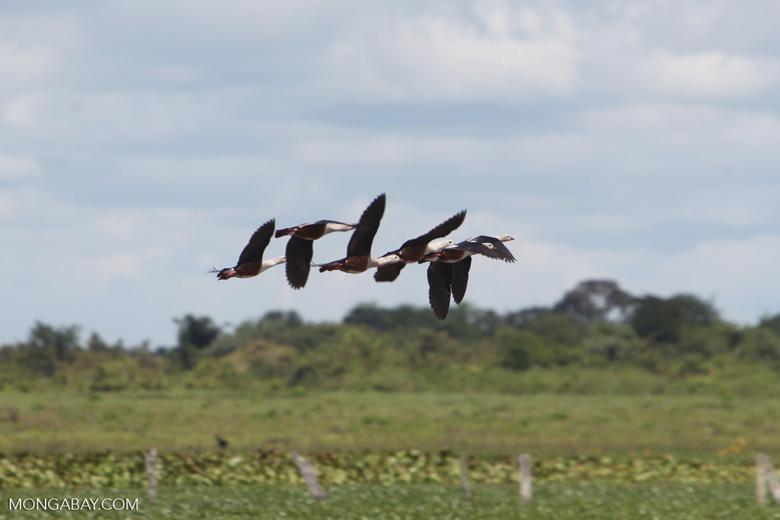 Orinoco geese in flight [colombia_6411]