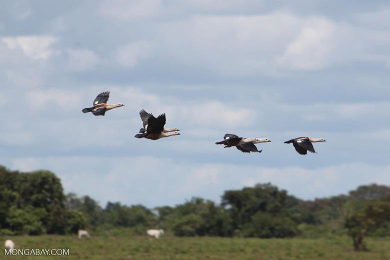Orinoco geese in flight [colombia_6414]