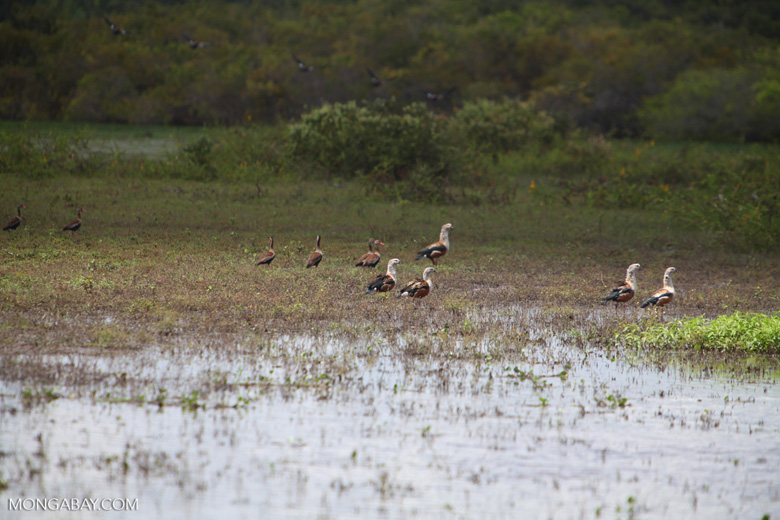 Orinoco geese [colombia_6417]