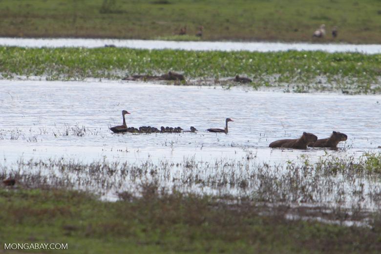 Birds and capybara [colombia_6433]