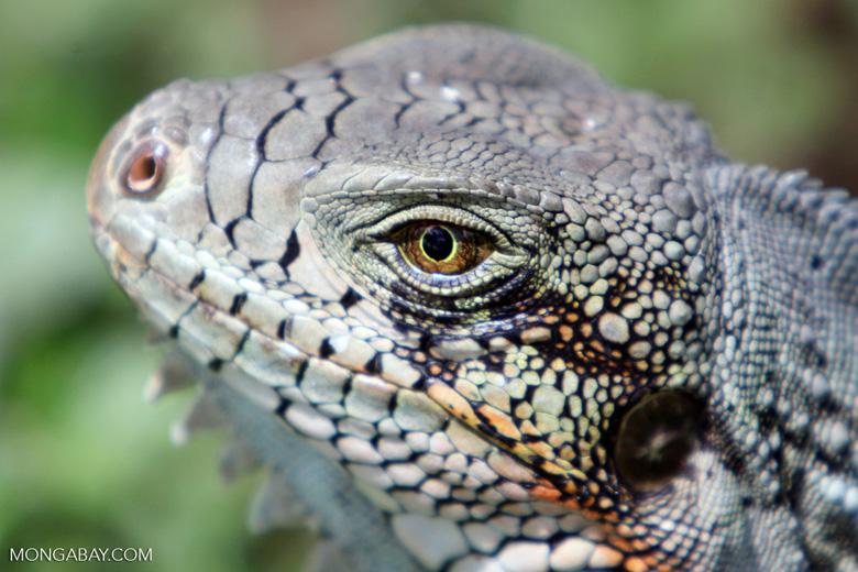 Green iguana headshot [colombia_6439]
