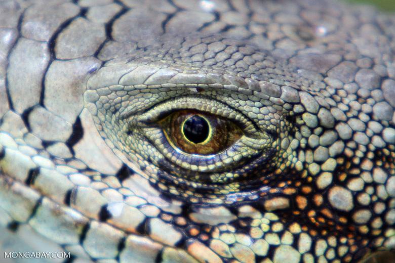 Green iguana headshot [colombia_6445]