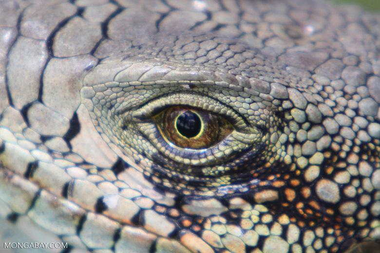 Green iguana headshot [colombia_6446]