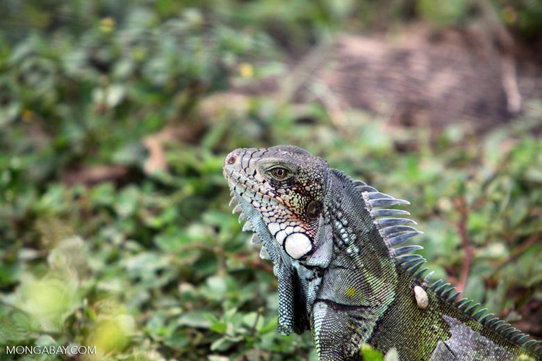 Green iguana headshot [colombia_6454]