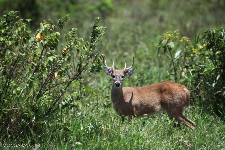 Odocoileus virginianus (White-tailed deer)