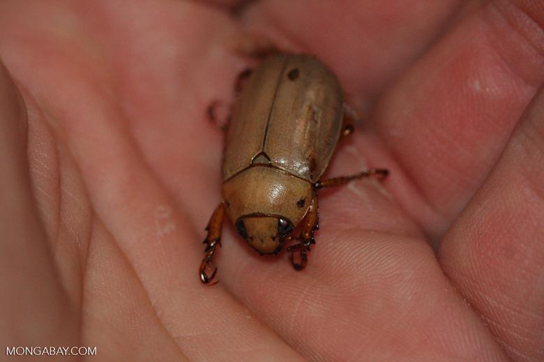 Light brown Dung Beetle, family Scarabaeidae