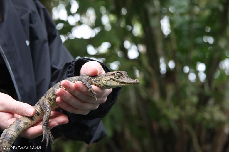 Baby caiman [costa-rica-d_0010]