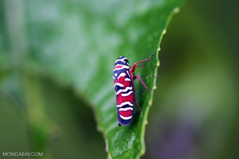 Agrosoma placetis leafhopper [costa-rica-d_0038a]