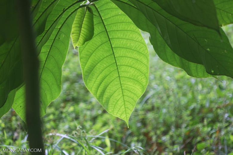 Rainforest leaf